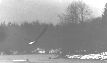 The 2012 Skagit Eagle Festival continues on the weekend of January 28